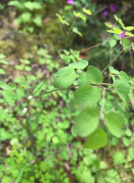Die Wiesenraute ist eine krautige Pflanze. Sie kann sich im Laufe des Sommers zu einer grossen Staude mit einer Wuchshöhe bis zu 180 Zentimeter entwickeln.